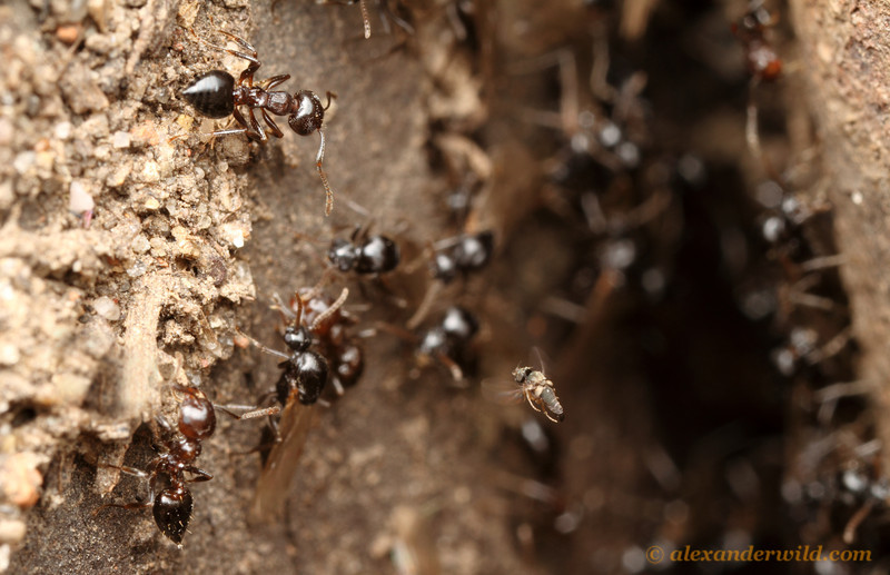 A mating flight of Crematogaster cerasi acrobat ants provides a parasitic Pseudacteon fly (at lower right) an opportunity to attack.