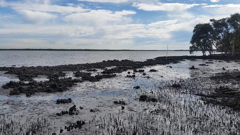 Oysters and Pneumatophores