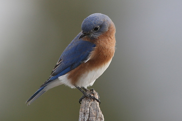 Eastern Bluebird males Gallery 3