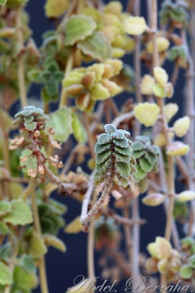 PLECTRANTHUS PROSTRATUS  Family: Lamiaceae Category: Cactus & Succulent