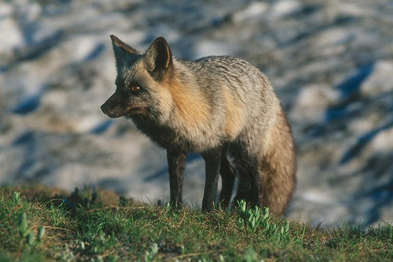 Silver Fox - Washington