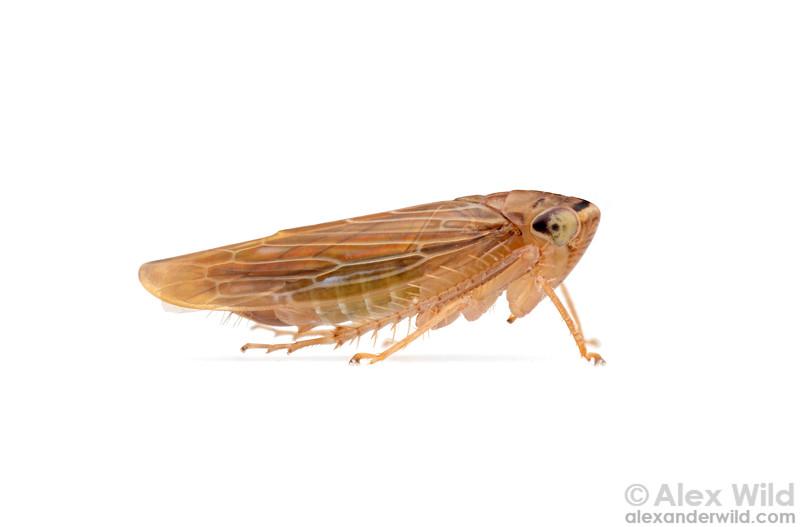 Chlorotettix necopinus