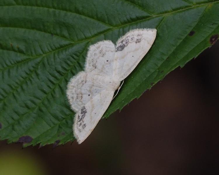 Large Lace-border (7159: Scopula limboundata)