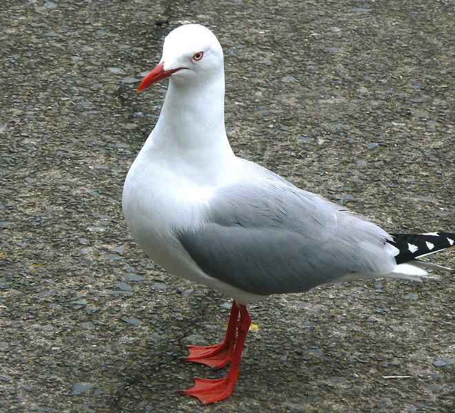 5Red-billedGull808 Nov. 22, 2009  11:26 a.m.  P1050808 Red-billed Gull, Larus scopulinus, at Tiritiri Matangi HQ/lunch spot