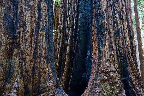 Big Basin Redwoods State Park, June 2020