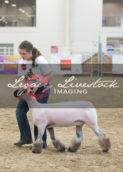 Senior Ewe Showmanship