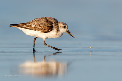 Knots, Sanderling, Stints