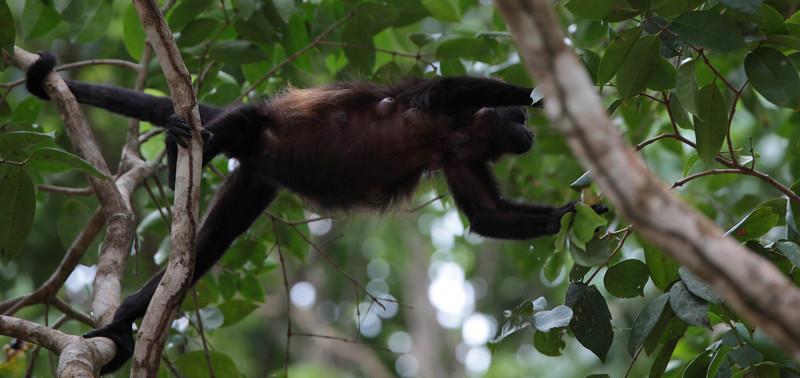 costa_rica_howler_monkey_7.JPG