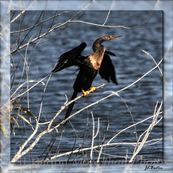 Wet Anhinga