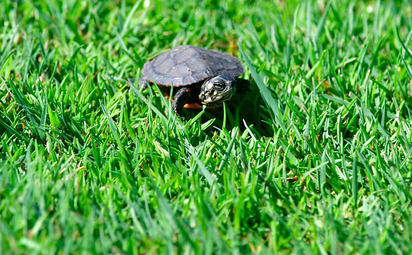 4/23/2019 Mike Orazzi | Staff A baby turtle at the Westwoods Golf Course on Tuesday.