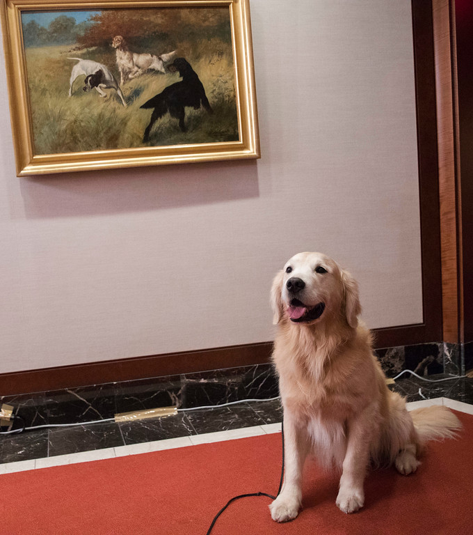 . Blue, a 8 year old golden retriever poses for photographers during a news conference at the American Kennel Club headquarter, Wednesday, March 28, 2018, in New York. American Kennel Club rankings released in 2018 show golden retrievers are the third most popular purebred dog. (AP Photo/Mary Altaffer)
