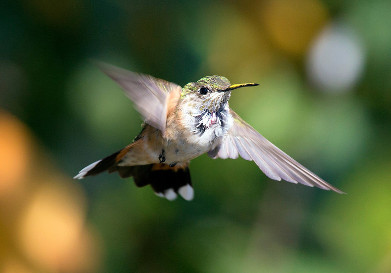hermannparkhummingbird6.jpg
