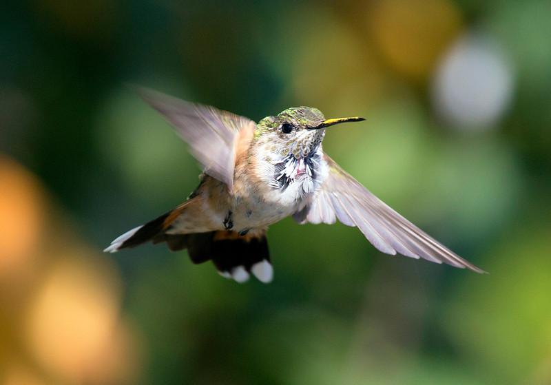 hermannparkhummingbird6.jpg