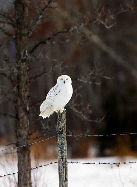 Stare Down - Snowy Owl (Upper Michigan)