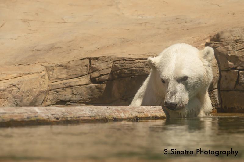 polar bear (14 of 50).jpg