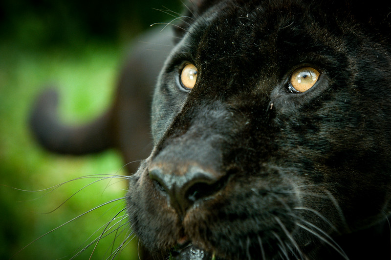 Black jaguar (Panthera onca) captive