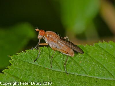 Marsh Flies (Sciomyzidae)