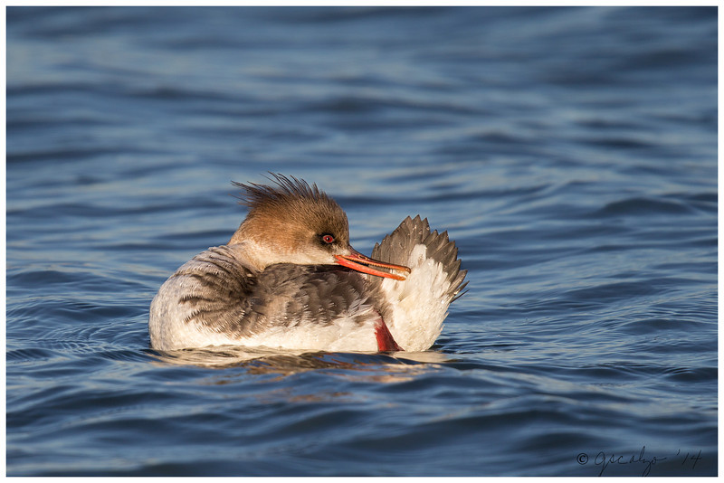 Red-breasted Merganser, Long Island, NY