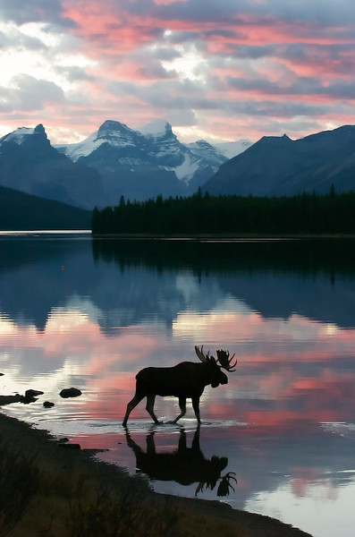 "BEHIND THE IMAGE:  MOOSE AT SUNRISE  Moose at Sunrise - Jasper National Park, Alberta, Canada, FILE# 0607437  Sometimes all the planning in the world will not prepare you for what mother nature throws in front of you.  I was leading at a Charles Glatzer photography workshop at Jasper National Park in Alberta Canada.  A normal staple to this park is Maligne Lake located about a hour drive from Jasper town-site.  By the time of this photograph, we'd been to this spot a couple times in the morning and even shot this particular bull and the focus of his interest, a cow.  We all had been very successful previously and really wasn't anticipating any ""magic"" this particular morning.  Normally, when we drive around Jasper NP, we caravan in a couple of vehicles to give everyone plenty of room for themselves and their photo gear.  Usually, the instructors are in the lead vehicle and everyone is connected with high-tech walkie-talkies.  The normal practice is the lead vehicle sees something and then tells everyone else in the two or three vehicle caravan what's up and what to do next.  On this particular morning it was overcast.  We were a little late getting to Malign Lake and we could just make out the overcast skies during the drive.  As we arrived at the spot where we'd seen this bull and his cow the previous day, there he was, as expected but unfortunately munching very un-photogenically on the grass on the shore.  The geography situation here was the bull was munching on the grass next to the mouth of the Maligne river with a little automobile bridge crossing it.  The photo situation was severe look-down.  Shooting the top of his head definitely wasn't what we were planning.  With the cow up river, away from the lake, and the bull seemingly content to just eat grass on the shore, we got out of our vehicles with absolutely no rush to shoot anything.  Why?  We already had tons of images of this couple.  He was in the shadows and we were well above him.  What could possibly be photogenic about this?  Oh, the surprises that mother nature gives us.  When we arrived in our vehicles, we parked them a discrete distance away as was our normal practice.  As is usually my habit, I walk around with a camera in my hand and it just happened to be this morning I had my Nikon D2h with 70-200mm f/2.8 AF-S VR.  Usually when I'm not sure what's going on I'll use this lens or my 28-70mm f/2.8 AF-S.  Only rarely do I automatically setup a long lens--i.e. 300mm's or longer--to explore a situation.    While everyone else was talking among themselves near the vehicles, I walked up to the edge of the bridge to see what might be unfolding.  I was looking down on top of this bull which didn't seem to bother him in the least.  He seemed quite relaxed and in no mood to move towards the cow now behind me below the bridge.  Soon the skies just barely began to open up, then like a switch the colors turned on.  Wow... Not only that, the bull walked towards the edge of the water and walked in!  Geez, I was the only person there, completely surprised at the unfolding picture.  I knew exactly what I wanted.  I knew exactly the image that needed to be made.  But, I completely had the wrong tools.  I needed my 28-70 for the wide view.  Instead, I had my 70-200mm.  I had everything there to shoot a great picture except for the wrong lens.  Not only that, I seemed to be the only person ready though six very competent photographers were standing talking among themselves not 100 feet away oblivious to what was unfolding.  I spoke out in a calm but determined voice ""you guys really need to be over here!"" and got to shooting pictures.  The challenge here was I couldn't get the wide view I wanted.  Also, the bull was moving meaning the shutter speed with a slightly long lens needed to be higher than I wanted in order to freeze the bull.  Not only that, I was hand-holding my gear which meant I had to worry about camera shake--even though I was using the lens' VR capability.  I knew I hoped the mountains were sharp which meant increased depth-of-field which meant a small aperture.  I knew I wanted to stop the moose's movement which meant increased shutter speed.  I knew I wanted to make the highest quality file possible which meant a lower ISO.  I clearly needed to compromise on something or everything to get what I wanted.  Small aperture, faster shutter speed, and lower ISO aren't compatible when the light is very dark.  So, how did I figure this out?  I knew between the mountain and the moose, the moose--i.e. the foreground subject--needed to be sharp.  I decided he was what I set my focus sensor on.  I zoomed out my lens to 70mm's and shot vertically to get the moose and the mountain light in one frame.  I set the camera's aperture to f/8 to keep the moose sharp and most of the mountains in focus.  Since he was moving relatively slowly so I picked the fastest shutter speed I could.  Unfortunately, the shutter speed was constrained by the ISO.  Normally, I would never shoot this camera above ISO 800.  In this case, I accepted ISO 1000 instead of ISO 800 simply because I knew 1/25 sec would not freeze the moose and would lead to problems from me hand-holding the camera.  I accepted 1/40th sec at ISO 1000 with the hope that somehow in post processing I could minimize the noise problems.  How long did all this decision process take?  About two seconds.  I made all the decisions by the time he just walked into the water.  After that, I completely focus'd on the image and composition.  The bull slowly walked into the water.  He paused shortly in the middle of the water to look around.  Chas with his wide angle to medium tele got that fantastic shot--the image I really wanted.  Then the bull walked off.  Of the 36 images I shot of him crossing, this was the first and by far the best.  The only nit is I could've waited a fraction of a second to let some space build between the reflection of his hind leg and the shore.  The compromises I made were just right.  I was able to do a little post processing noise reduction magic to keep the image acceptable.  The moose is definitely sharp.  The colors are amazing.  Everything about the image is fantastic.  And, it makes a lovely medium sized print--as large as any of my other D2h prints.  The whole time from beginning to end was only about 3.5 minutes.  Among the six participants, only Chas, and I got worthwhile images from this event.  When I called out to the others that they needed to be here, Chas grabbed his camera that just happened to have the perfect setup and shot right next to me.  I don't think the others were able to figure out the compromises as quickly and therefore lost the opportunity.    In the end, I got the narrow view.  Chas got the wide view.  Funny enough, I think he prefers my narrow image view while I wish I had his wide-angled view.  Interesting how things work out that way.  The moral of this story is being prepared for anything that mother nature might throw at you.  Secondly, being very knowledgeable with your gear can make all the difference when things are happening fast and furiously.  Cheers  Tom"
