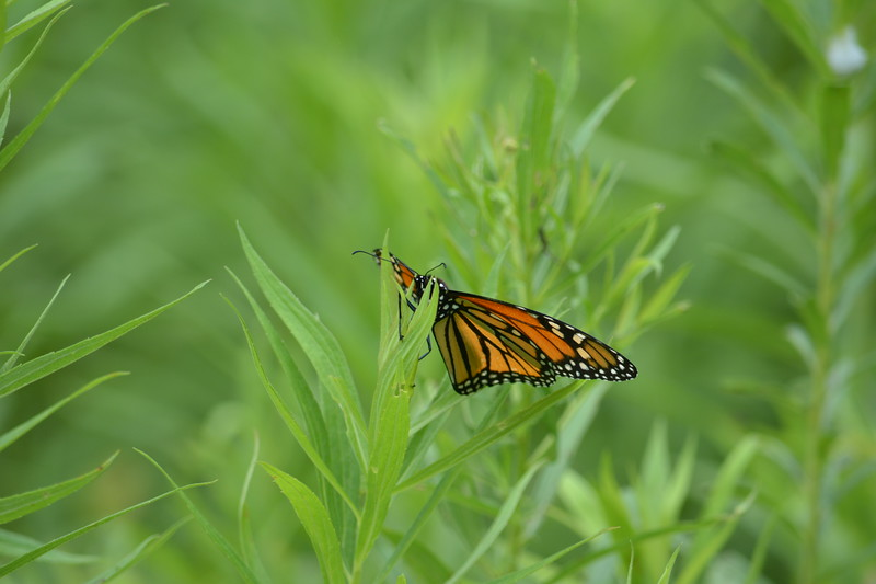 Monarch butterfly , in Area 5 (Photo by Thomas Jackman)
