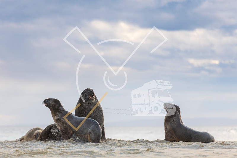 Harem of female New Zealand Sea Lions (Phocarctos hookeri) playful fighting
