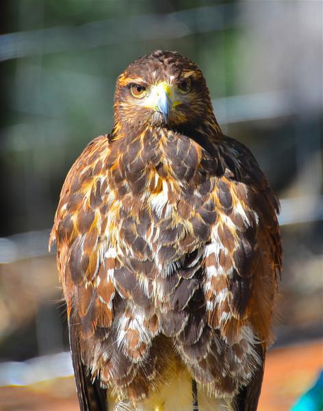 Hawk Walk West Coast Falconry