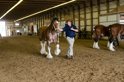 Reg Brood Mare 4+ clydesdale