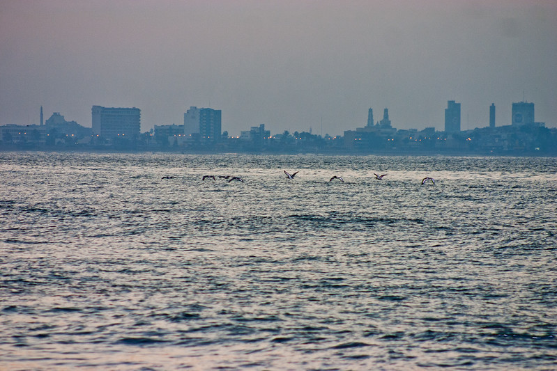 Pelicans Coming Home in Mexico