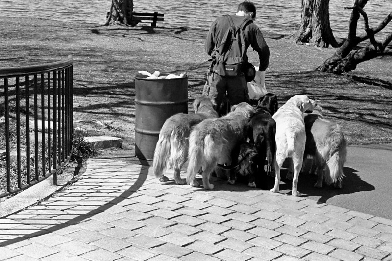 The Dog Walker - The first time I saw a dog walker, I couldn't figure out why the man had so many pets.  Luckily I had my camera to capture the odd scene.