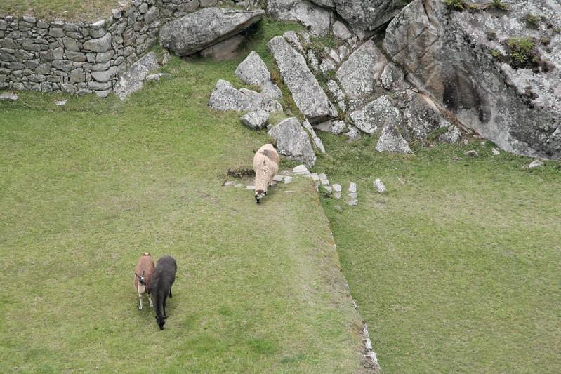A few of the alpacas that roam the site.