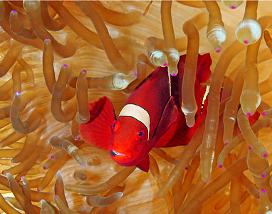 Spinecheek Anemonefish in Bulb Anemone