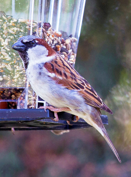 Another sparrow at the feeder ....