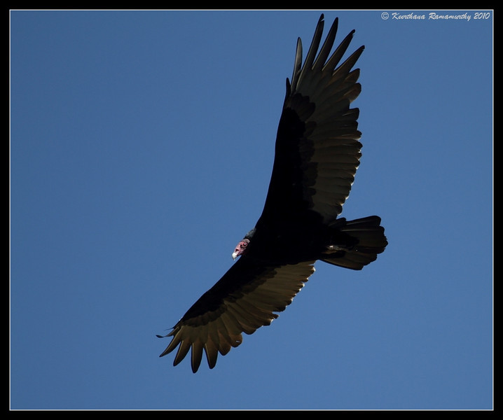 Turkey Vulture, Cuyamaca Rancho State Park, San Diego County, California, October 2010