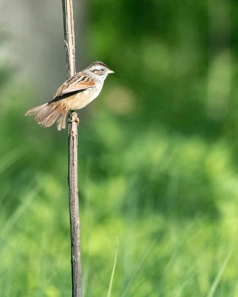 _MDX6562 Swamp Sparrow.jpg