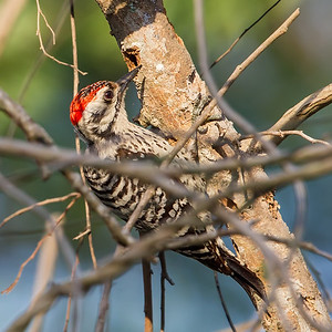 Ladderbacked Woodpecker
