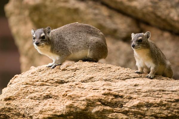 Bush hyrax (Heterohyrax brucei) - שפן ערבה