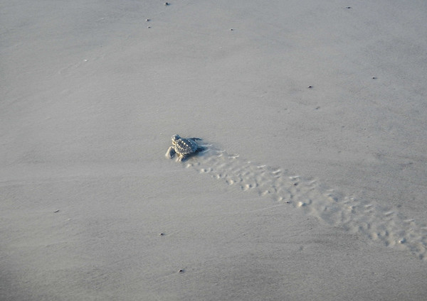 turtle tracks too