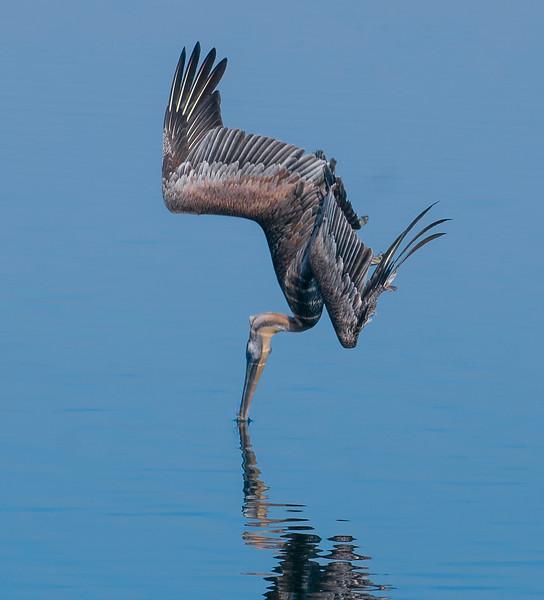 Pelicans-71.jpg