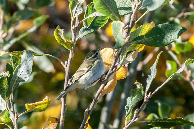 Taigasångare   (Phylloscopus inornatus)