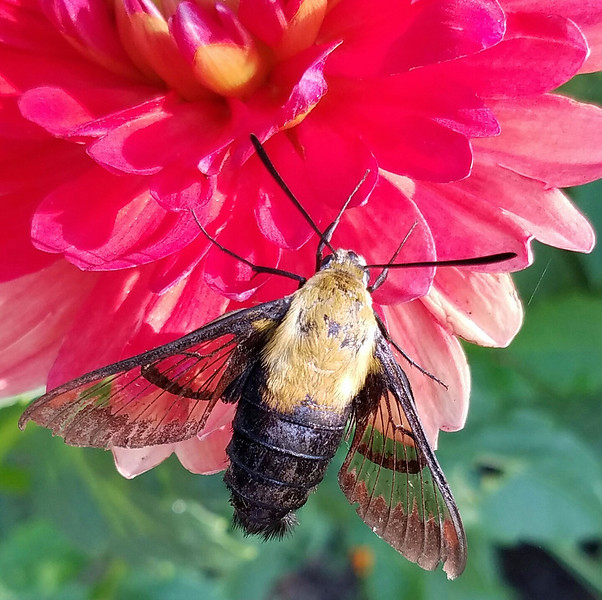 Hummingbird moth 35