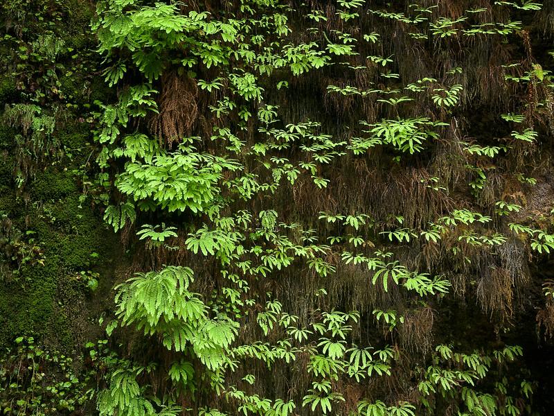 Fern Canyon Wall