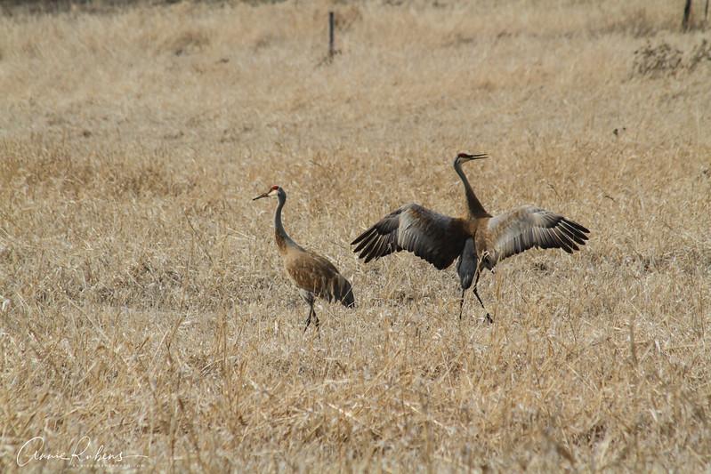 IMG_2340 Sandhill Cranes.jpg