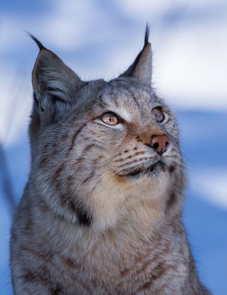 Lynx 13.jpg