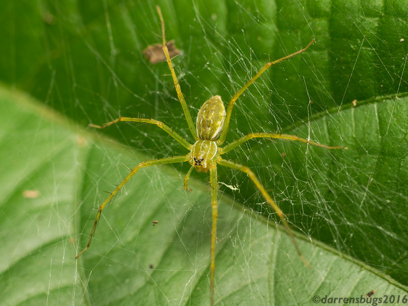 Nursery web weaver, Pisauridae, from Belize.