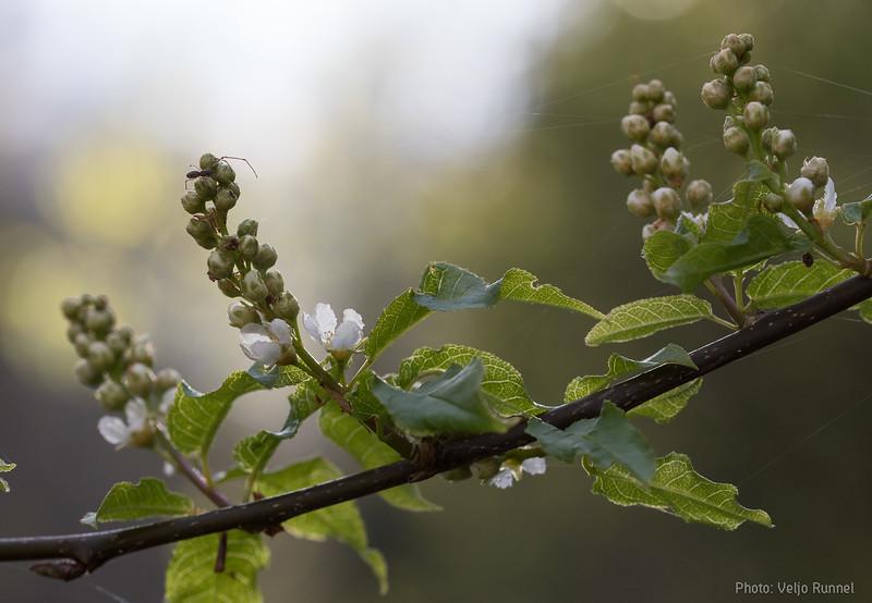 Bird cherry, harilik toomingas