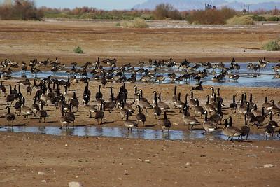 Cibola Wildlife Refuge - January 2009