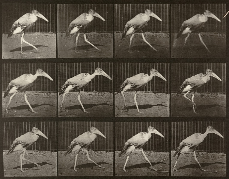Adjutant walking (Animal Locomotion, 1887, plate 774)