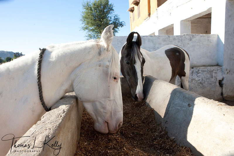 The Marwari or Malani is a rare breed of horse from the Marwari (or Jodhpur) region of India. Known for its inward-turning ear tips, it comes in all equine colours.
