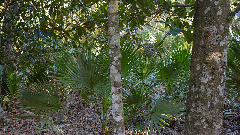 Saw palmetto under Southern magnolias