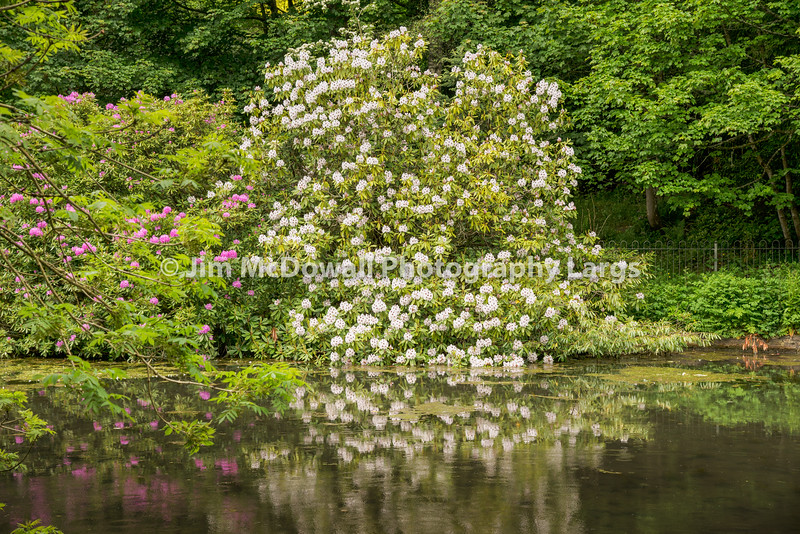Rhododendrons at Pond-2444.jpg